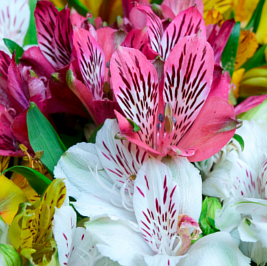 Bulk Alstroemeria