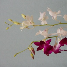 Bulk Dendrobium Orchids