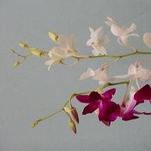 Bulk Dendrobium Orchids