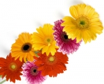 Bulk Gerbera Daisies