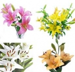 Bulk Asiatic Lilies