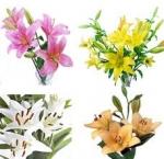 Bulk Asiatic Lilies