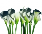 Bulk Calla Lilies