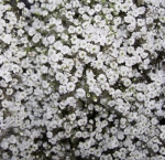 Bulk Baby Breath