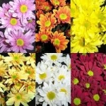 Bulk Chrysanthemum Daisies