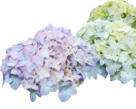 Bulk Hydrangea