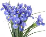 Bulk Iris