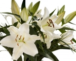 Bulk Oriental Lilies