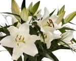 Bulk Oriental Lilies