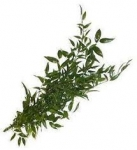 Ruscus Italy