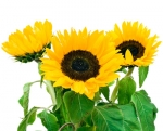 Bulk Sunflowers (Medium)